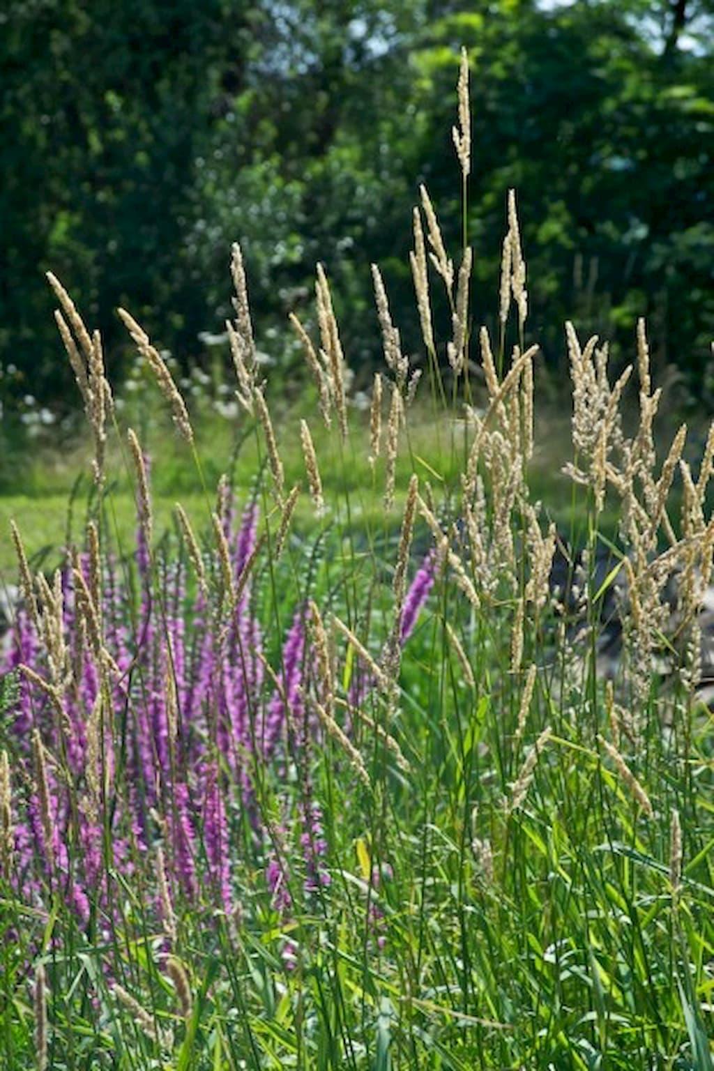 Chrastice rákosovitá - rostliny pro kořenovou čističku
