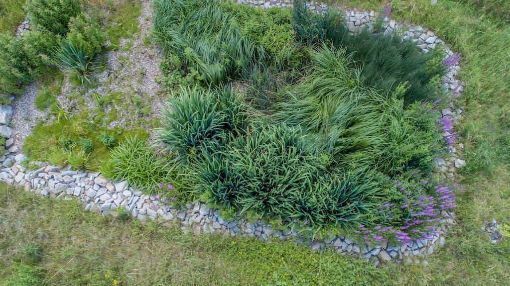 Rostliny pro kořenovou čističku - Mladý bazanovec kytkokvětý