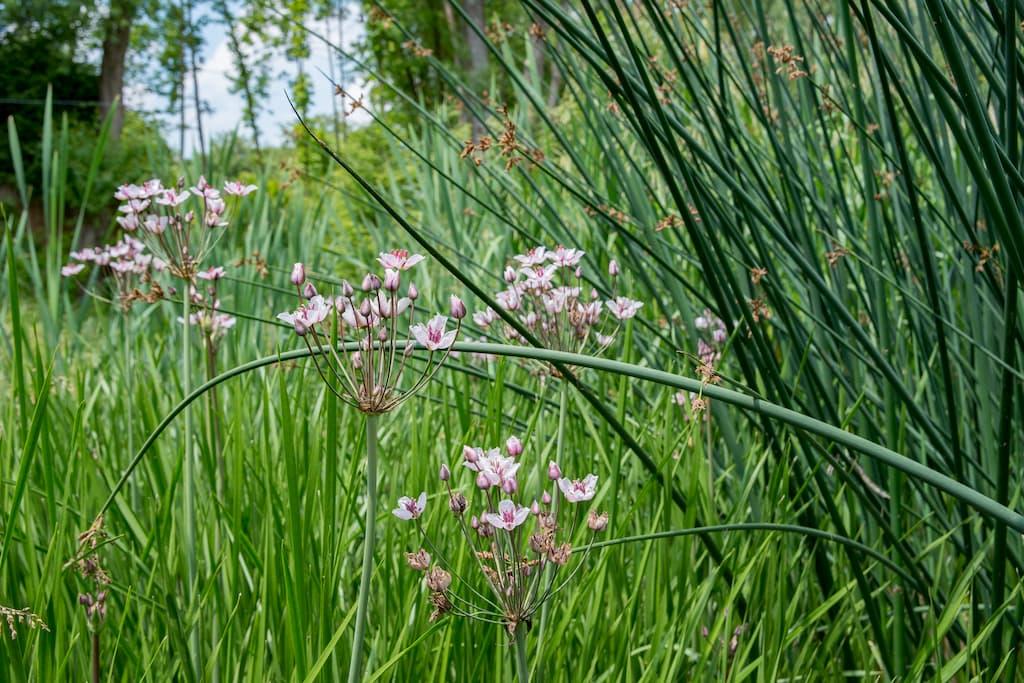 Rostliny pro kořenovu čističku - Ostřice pašáchor