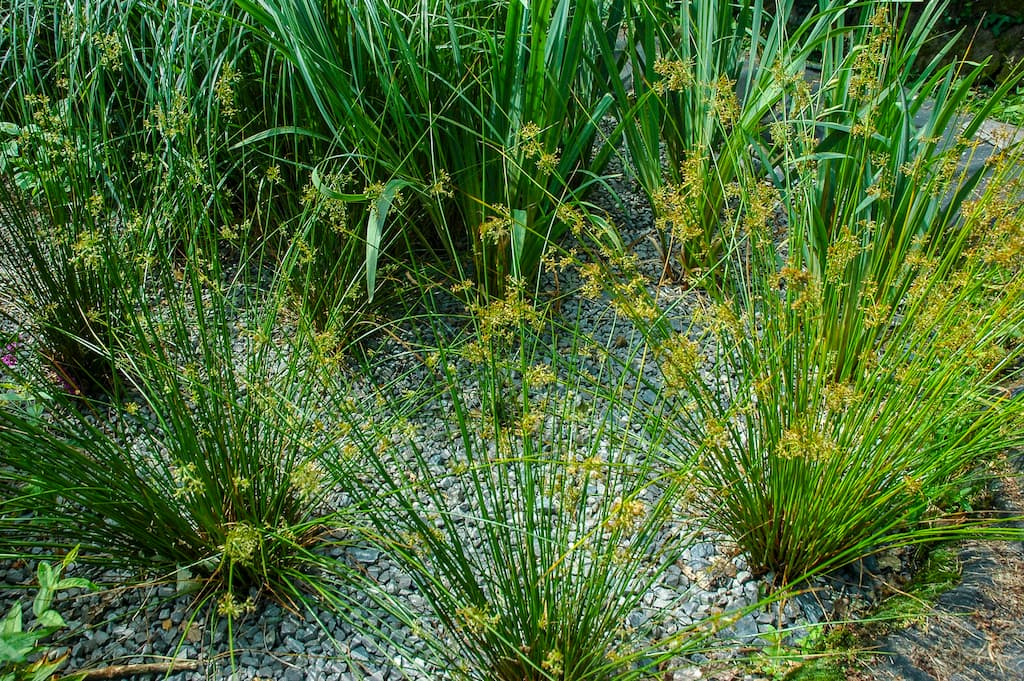Rostliny pro kořenovou čistírnu - Vrbina Obecná
