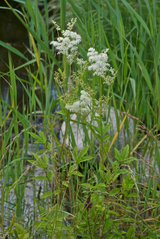 Tužebník jilmový - rostliny pro kořenovou čističku
