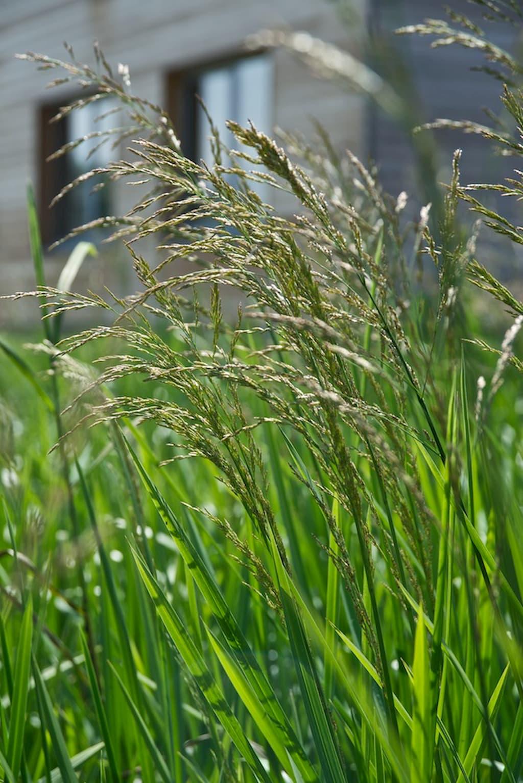 Zblochan vodní - rostliny pro kořenovou čističku