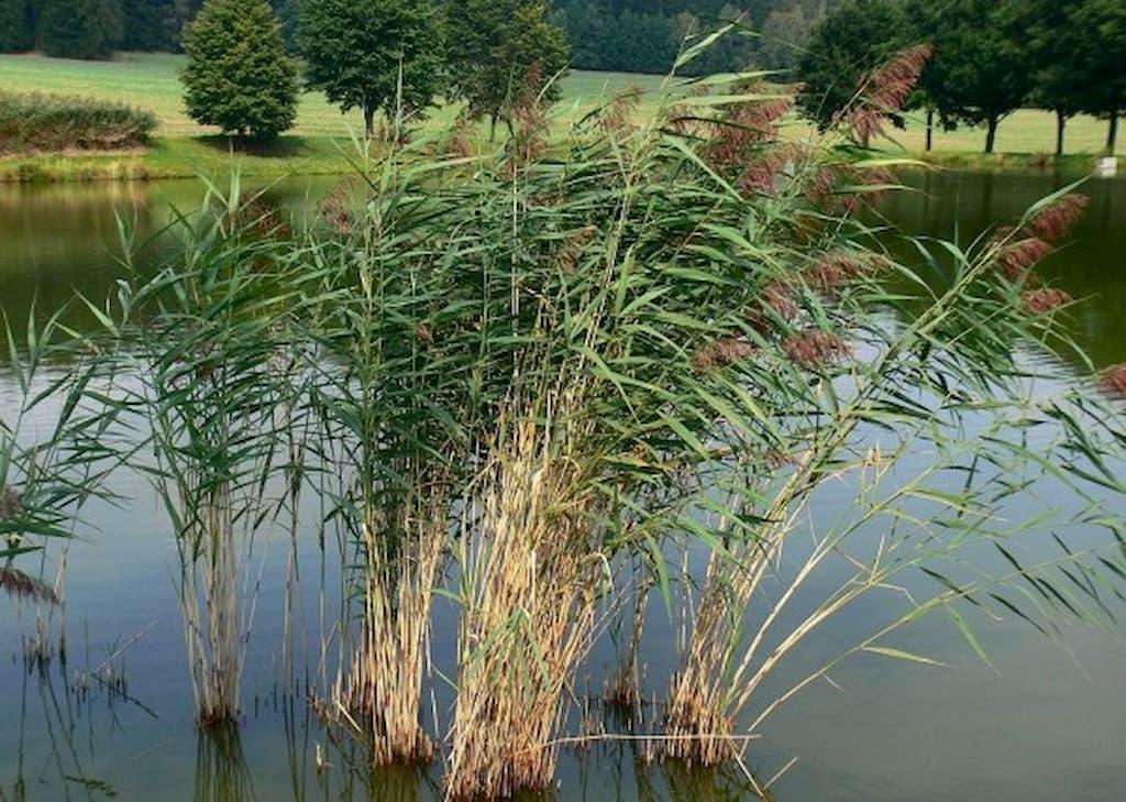 Rákos obecný - rostliny pro kořenovou čističku